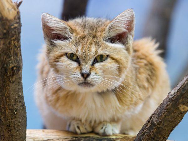 барханный кот на жерди