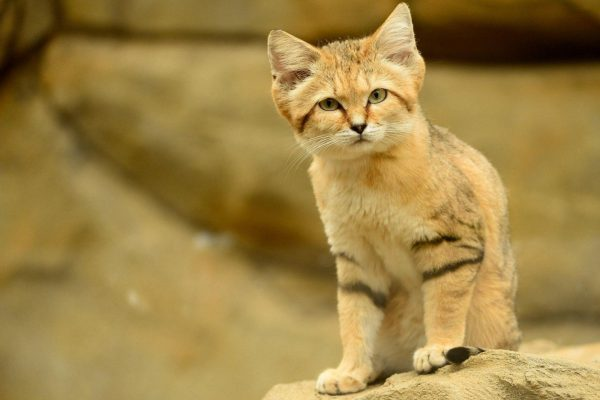 барханный кот встал на кнасыпь