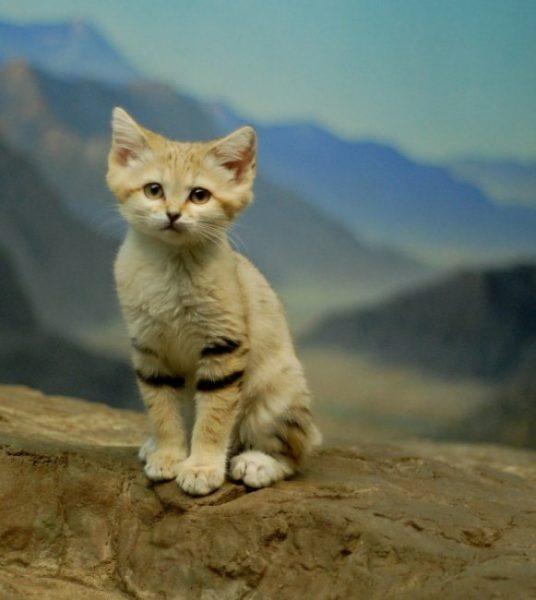 барханный котёнок на фоне скалистых гор