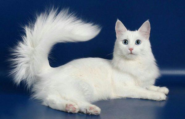 Белая ангорская кошка на синем фоне