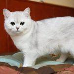 Белая британская кошка