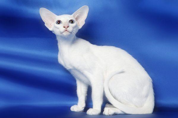 белая кошка форин вайт на синем фоне