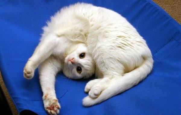 Белая кошка лежит, изогнувшись, на синей ткани