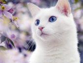 Белая кошка на фоне сиреневых цветов