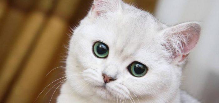 Белая кошка с грустными глазами