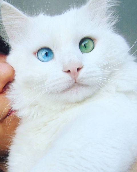 белая кошка с косоватыми разноцветными глазами