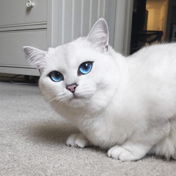 белая кошка с выразительными голубыми глазами