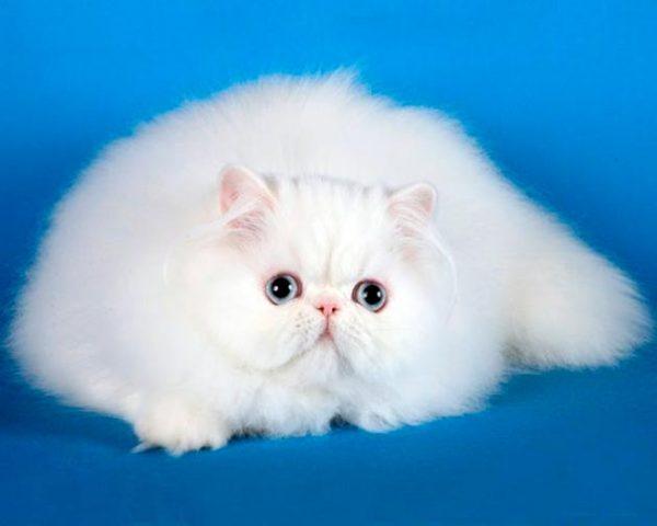 белая персидская кошка на синем фоне
