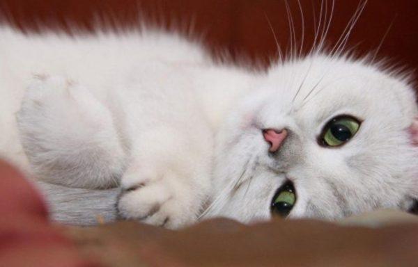 Белая зеленоглазая кошка