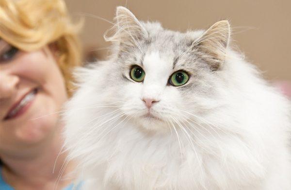 белоснежная норвежская лесная кошка