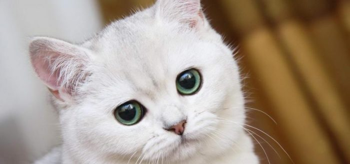 белый британский котёнок
