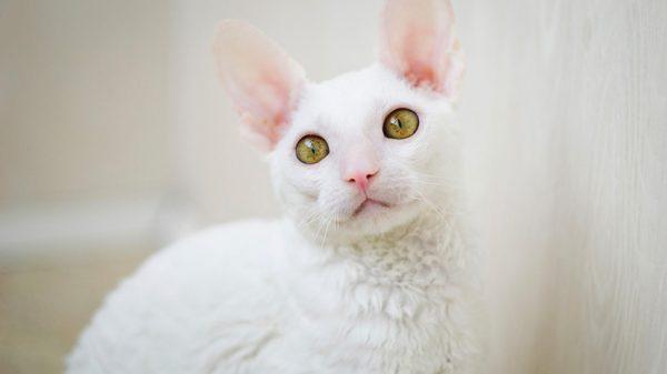 белый корниш рекс с жёлто-зелёными глазами