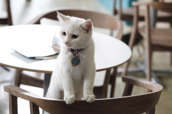 Белый кот на стуле