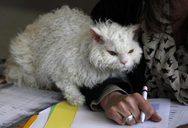 Белый кот селкирк рядом с рукой хозяйки