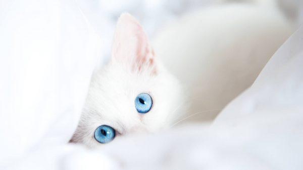белый котёнок с голубыми глазами спрятался в одеяле