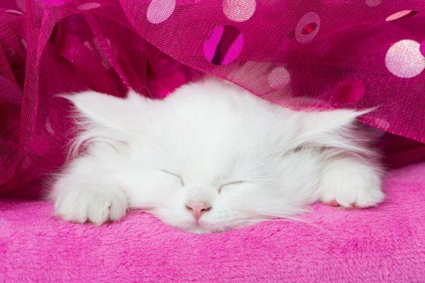 белый котёнок с закрытыми глазами лежит на розовом покрывале