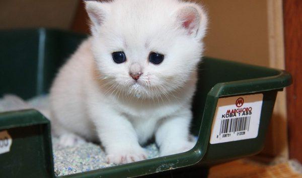 белый котёнок в зелёном лотке с белым наполнителем