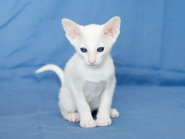 Белый ориентальный котёнок на синем фоне