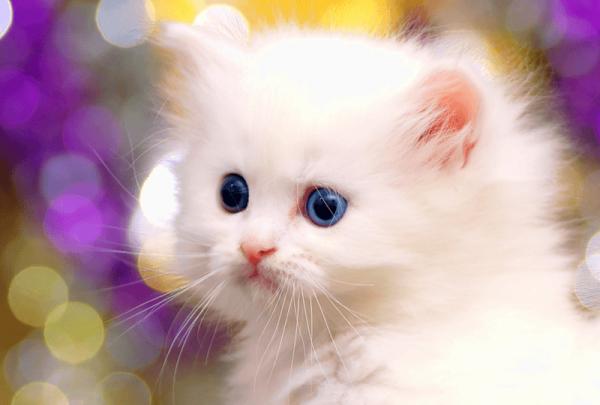 белый пушистый котёнок на расплывчатом фоне
