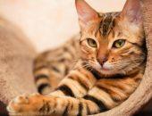 Бенгальская кошка отдыхает
