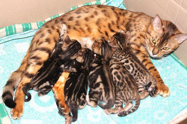 Бенгальская кошка с котятами