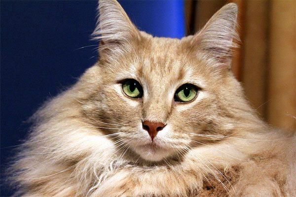 бежевая норвежская кошка с выразительными зелёными глазами