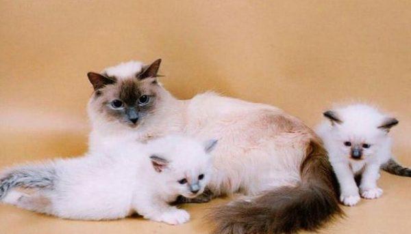 Бирма с котятами