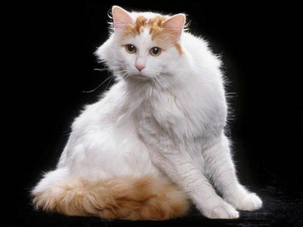 большая ванская кошка на чёрном фоне