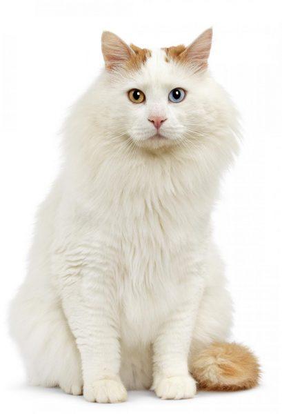большая ванская кошка на чисто-белом фоне