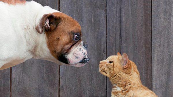 Пёс и рыжий кот смотрят друг другу в глаза