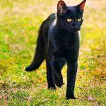 Бомбейская кошка идёт по траве