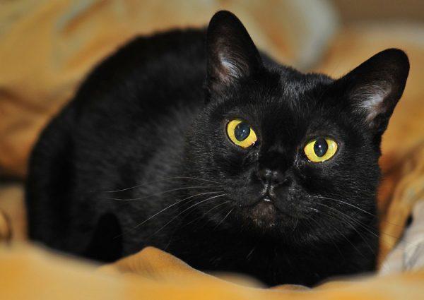 Бомбейская кошка лежит на оранжевом покрывале