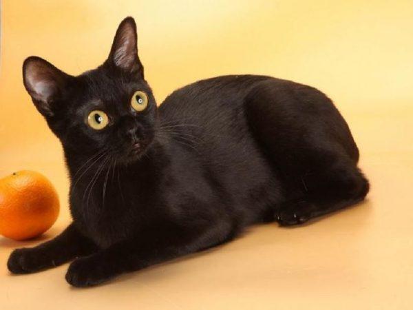 Бомбейская кошка рядом с апельсином на оранжевом фоне