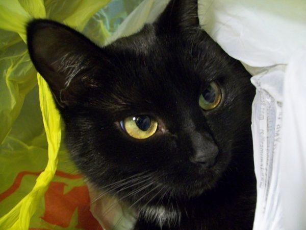 Бомбейская кошка в пакете из супермаркета