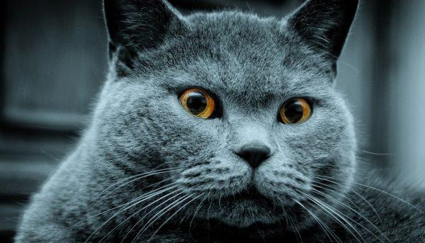 голова британской короткошёрстной кошки