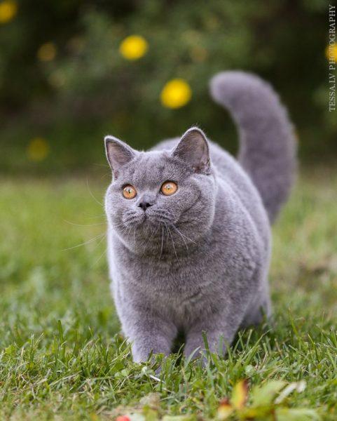 британская короткошёрстная кошка гуляет в траве