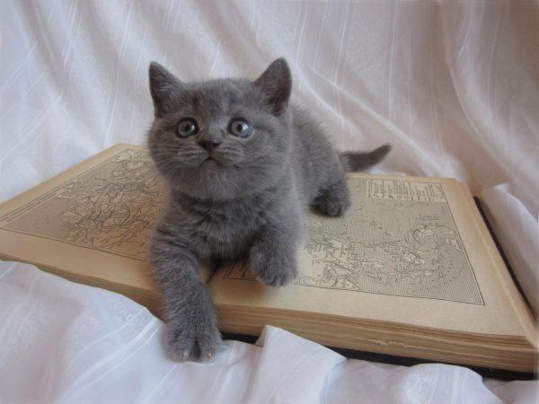 Британский котёнок на атласе