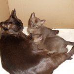 Бурманская кошка с котятами