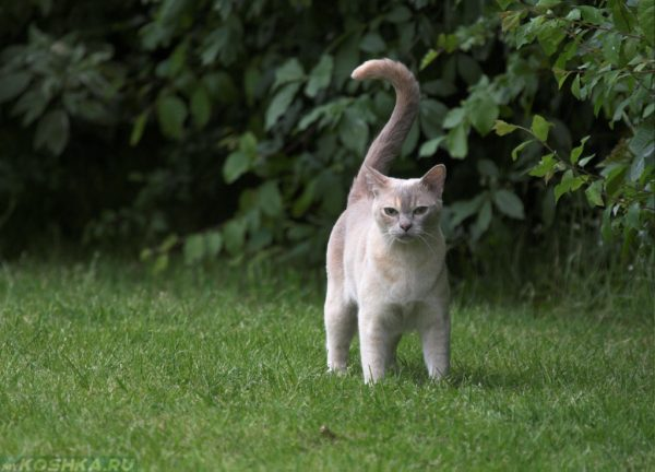 Бурманская кошка на прогулке