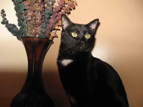 Бомбейская кошка сидит рядом с вазой