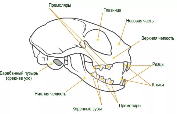 Схема строения черепа кошки