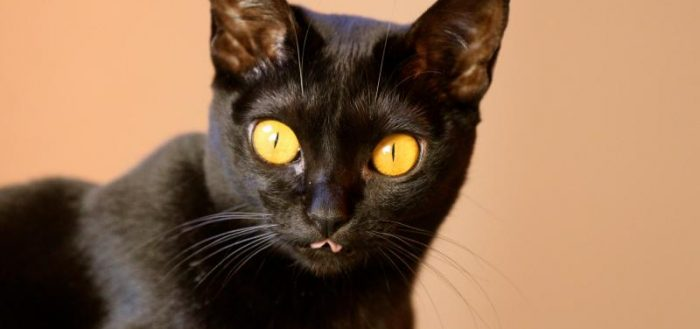 чёрная бомбейская кошка с жёлтыми глазами крупным планом