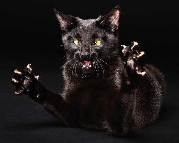 Чёрная кошка с когтями