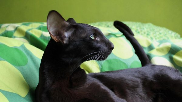 Чёрная ориентальная кошка на зелёном цветастом покрывале