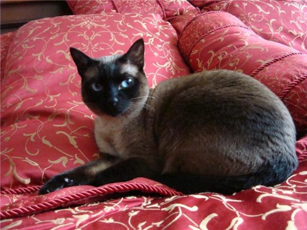 Чёрная тайская кошка на красном цветастом покрывале
