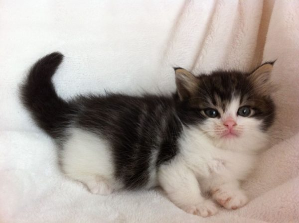 Чёрно-белый котёнок рагамаффина