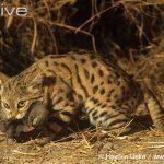 Черноногих кот на охоте