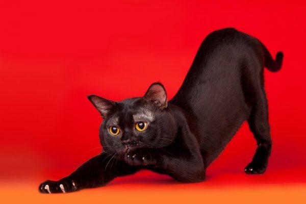 Чёрный кот потягивается
