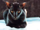 чёрный ориентальный кот с огненными глазами
