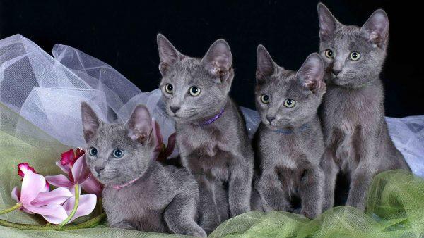 четыре серо-голубых котёнка